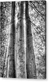 Four Trunks Acrylic Print by William Reek