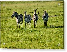 Four Zebras Acrylic Print by Menachem Ganon