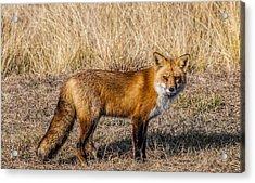 Fox 7282 Acrylic Print