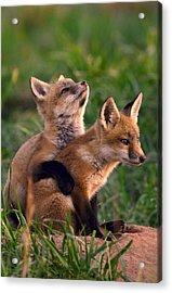Fox Cub Buddies Acrylic Print