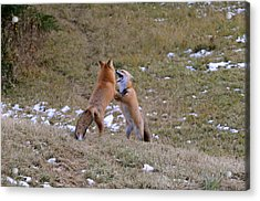 Fox Dance Acrylic Print