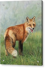 Fox  Acrylic Print by David Stribbling