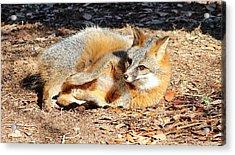 Fox Enjoying The Day Acrylic Print by Cynthia Guinn