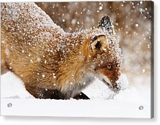 Fox First Snow Acrylic Print