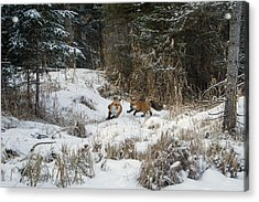 Fox Hollow Acrylic Print by Jack Bell