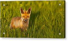 Fox In Grass  Acrylic Print