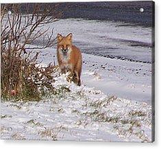 Fox In My Yard Acrylic Print