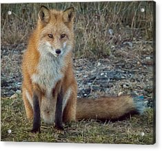 Fox In Oil Acrylic Print