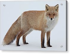Fox In Snow Field Acrylic Print by Ichiro