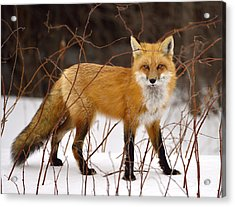 Fox In Winter Acrylic Print