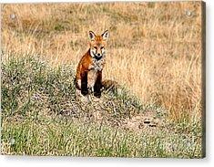 Fox Kit Acrylic Print