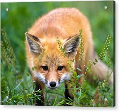 Fox Kit Hiding In The Grass Acrylic Print by Merle Ann Loman