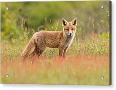Fox Kit In A Field Of Sorrel Acrylic Print by Roeselien Raimond