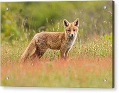 Fox Kit In A Field Of Sorrel Acrylic Print