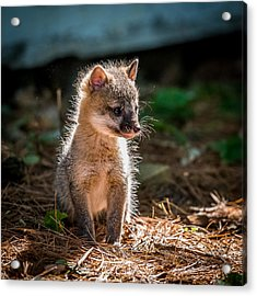 Fox Kit Acrylic Print by Paul Freidlund