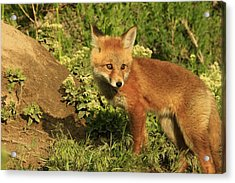 Fox Kit Acrylic Print
