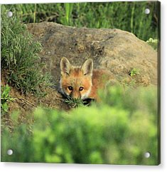 Fox Kit V Acrylic Print