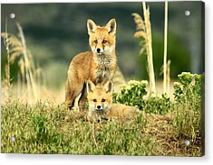 Fox Kits II Acrylic Print