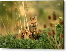 Fox Kits Iv Acrylic Print