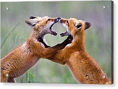 Fox Kits Acrylic Print by Merle Ann Loman