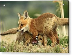 Fox Kits Acrylic Print