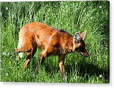 Fox - National Zoo - 01137 Acrylic Print by DC Photographer