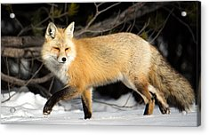 Fox On A Stroll Acrylic Print