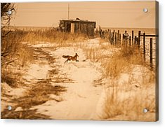 Fox On The Run Acrylic Print
