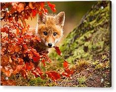 Fox Acrylic Print by Robert Adamec