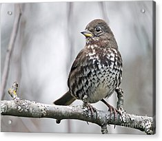 Acrylic Print featuring the photograph Fox Sparrow by Inge Riis McDonald