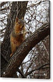 Fox Squirrel 1 Acrylic Print by Sara  Raber
