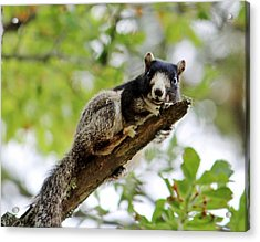 Fox Squirrel Acrylic Print by Cynthia Guinn