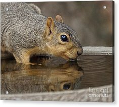 Fox Squirrel Acrylic Print by Lori Tordsen