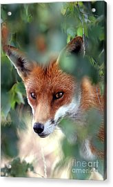 Fox Through Trees Acrylic Print