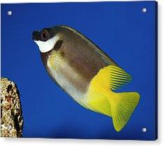 Foxface Rabbitfish Acrylic Print by Nigel Downer