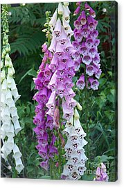Foxglove After The Rains Acrylic Print by Eunice Miller