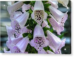 Foxglove At Waters Edge Acrylic Print