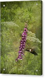 Foxglove Queen Ann's Lace And The Hummingbird Acrylic Print by Diane Schuster
