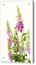 Foxgloves With White Background Acrylic Print by Sharon Freeman