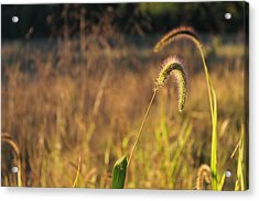 Foxtail Grass - Indian Summer Acrylic Print by Annette Gendler