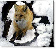 Foxy View Acrylic Print