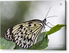 Fragile Beauty Acrylic Print