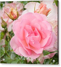 Fragrant Cloud Rose Acrylic Print by Jane McIlroy