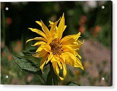 Frail Sunflower Acrylic Print