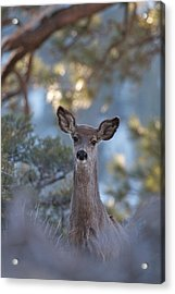 Framed Deer Head And Shoulders Acrylic Print