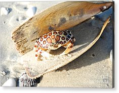 Frank The Spotted Crab Of Anna Maria Acrylic Print by Margie Amberge