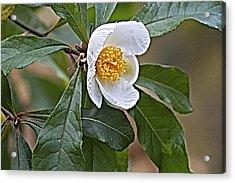 Franklinia Blossom  Acrylic Print