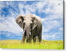 Free African Elephant Acrylic Print by 1001slide