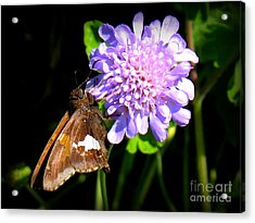 Acrylic Print featuring the photograph Silver Spotted Skipper by Patti Whitten