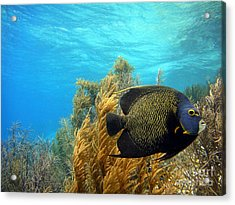French Angelfish Acrylic Print